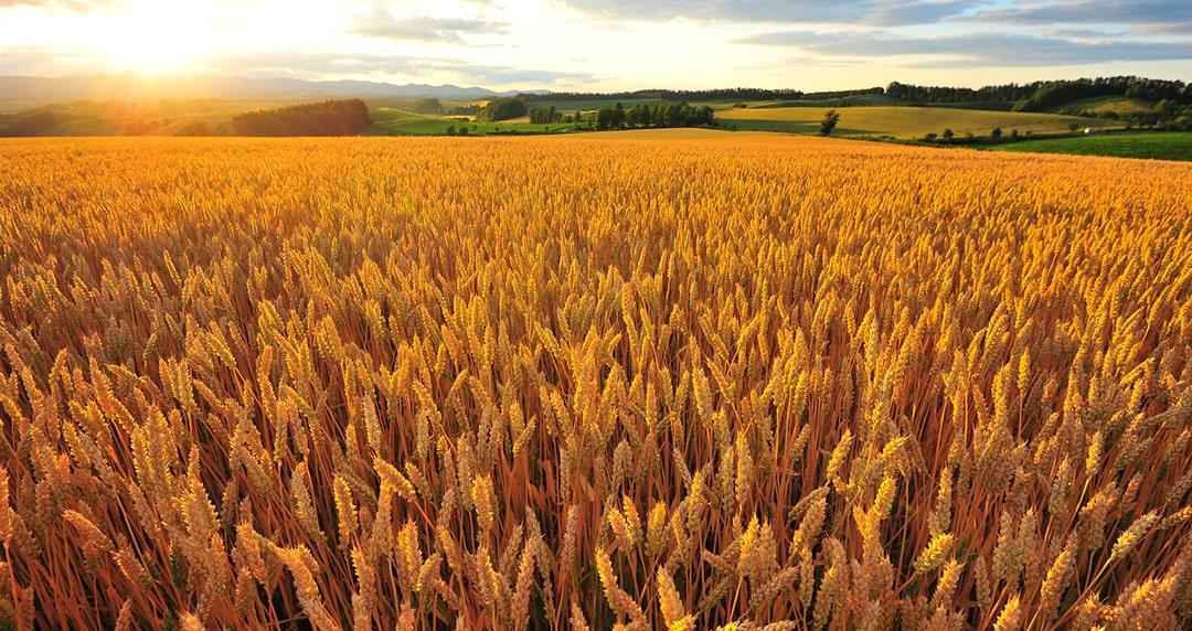 bonnes-pratiques-herbicides-cereales