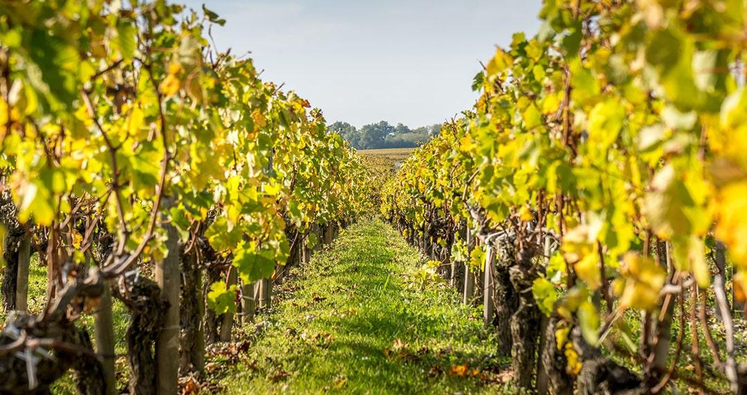 vigne-comment-lutter-contre-le-mildiou
