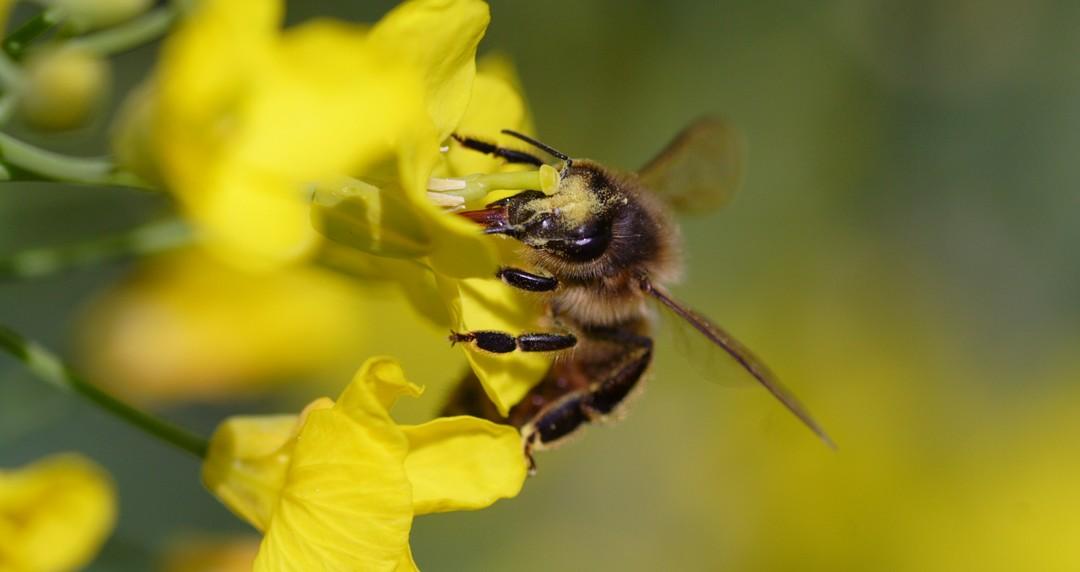 abeille sur colza