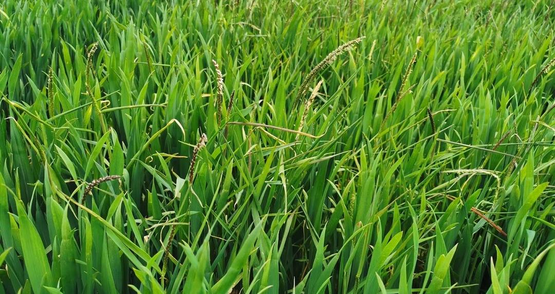Resistances des mauvaises herbes aux herbicides sur céréales