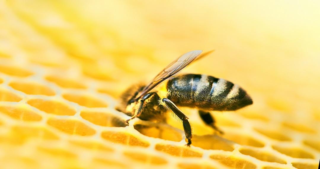 abeille sur rayon de cire de la ruche