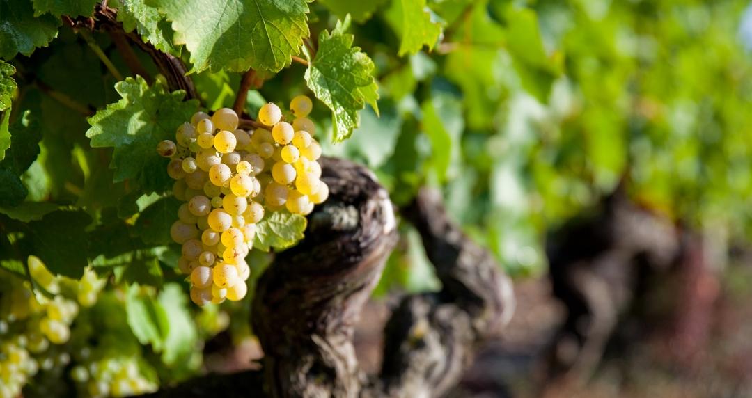 grappe de raisin sur vigne